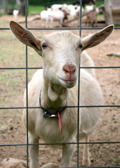 Goat on a goat farm on Long Island, New York. Caged In Goat Animal Themes Close-up Day Domestic Animals Fence Fences Goat Life Livestock Looking At Camera Mammal Nature No People One Animal Outdoors Photography Portrait