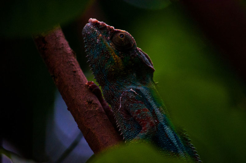 Little colorful monster EyeEm Best Shots EyeEmNewHere Green Masoala Hall Masoala Rainforest Zürich Zoo Z Zoo Zürich Animal Themes Animal Wildlife Animals In The Wild Bearded Dragon Chameleon Chameleon On A Tree Chameleons Close-up Day Nature No People One Animal Outdoors Reptile Zoo Animals  Zoology Zoophotography