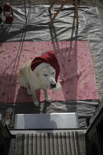Cute Labrador with Santa hat Christmas Dog Santa Hat Pet Portraits Santa Hat Xmas Animal Themes Christmas Hat Day Dog Dog With Hat Domestic Animals Mammal No People One Animal Outdoors Pets