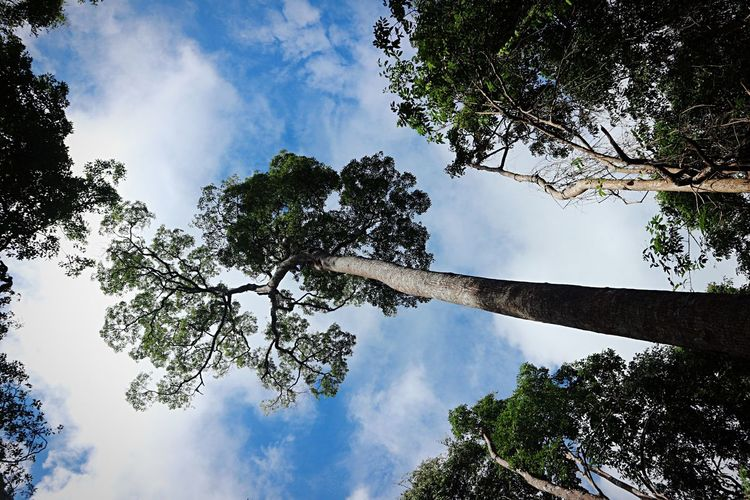 Tree Low Angle View Sky Branch Nature Beauty In Nature Growth Cloud - Sky Day No People Tranquil Scene Outdoors Leaf Scenics Tranquility Forest