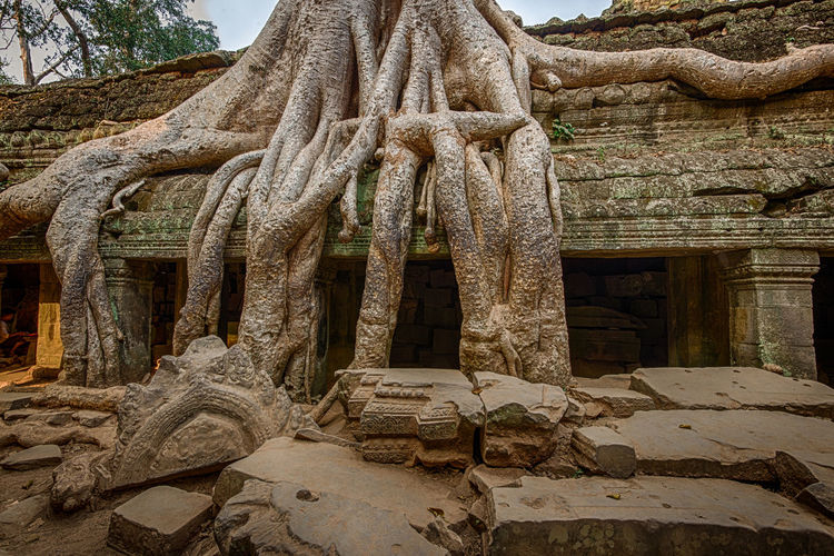 Strangler fig tree growing over the ancient ruins of Ta Prohm temple in the early morning light. Ancient Ancient Architecture Ancient Civilization Ancient History Ancient Ruins Architecture Cambodia Cultures History Khmer No People Outdoors Siem Reap Strangler Fig TaProhm Temple Travel Travel Destinations Tree Tree Trunk