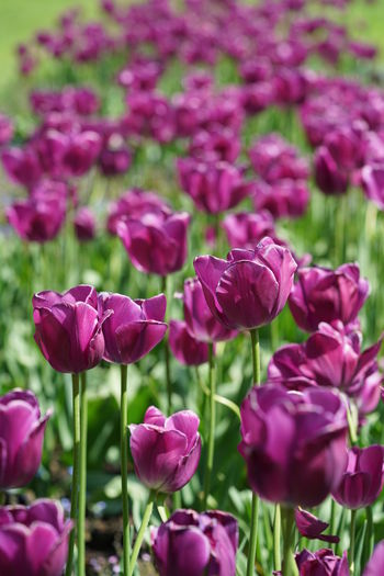 Close-up of pink tulips on field