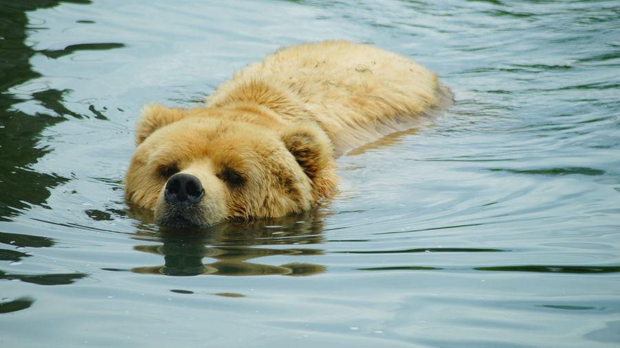 Bear Swimming In Water