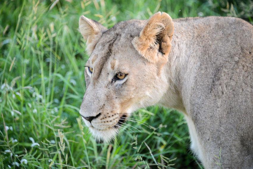 Safari in Hlane Royal National Park in Swaziland. Grass Hlane Hlane Royal National Park Lion National Park Swaziland  Wildlife & Nature Lion - Feline Lioness Safari Safari Animals