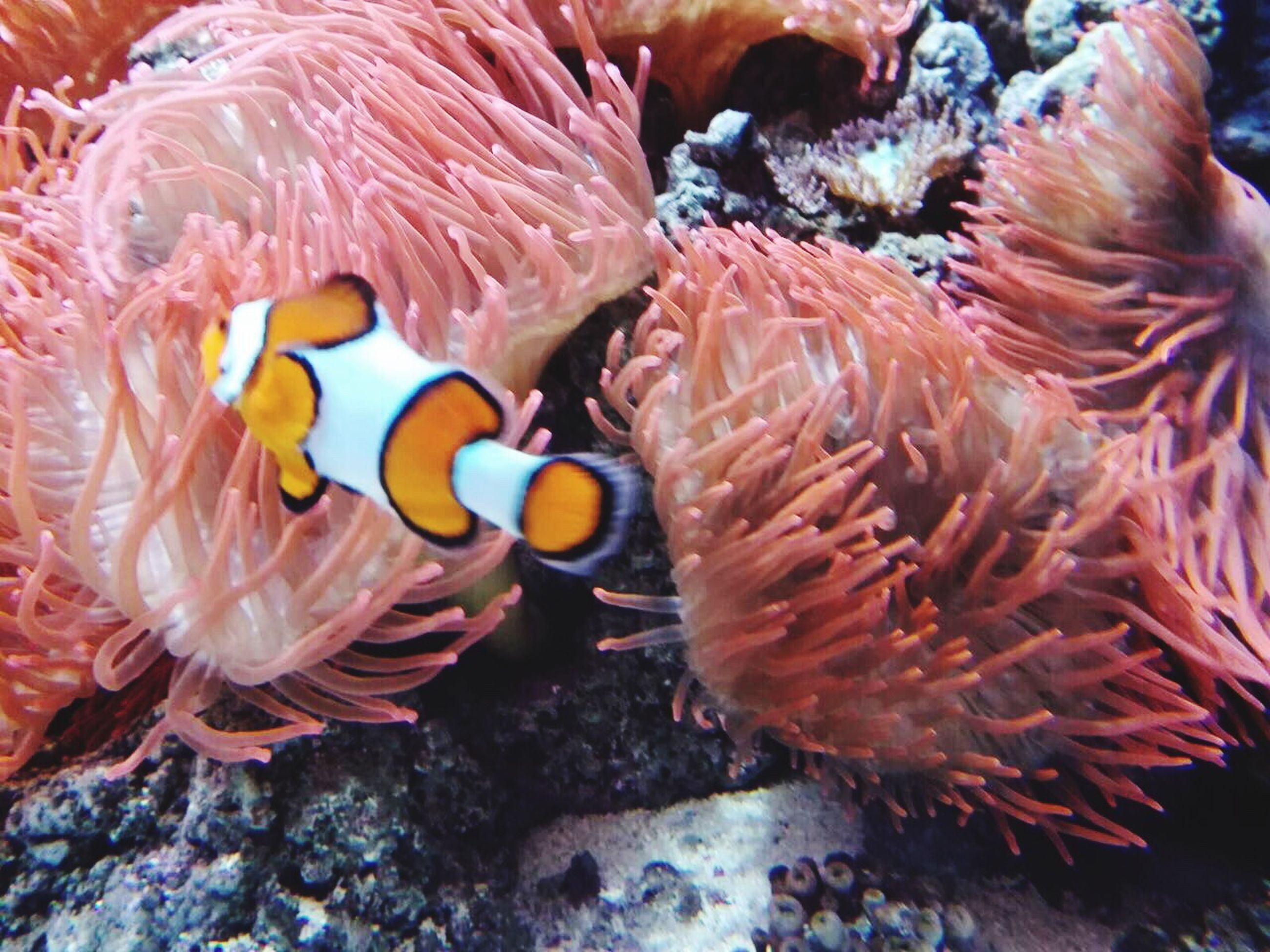 clown fish, underwater, animal themes, sea life, animals in the wild, coral, undersea, fish, sea anemone, water, animal wildlife, sea, swimming, nature, no people, beauty in nature, day, close-up