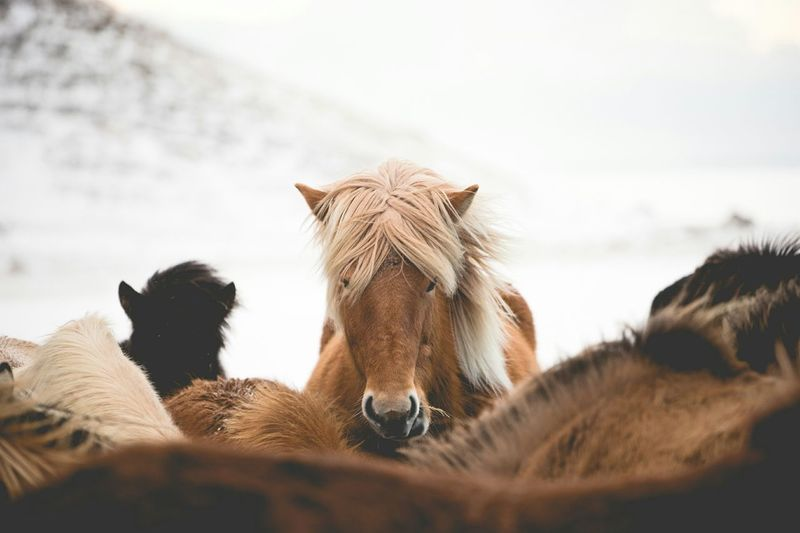 Portrait Of Icelandic Horse Outdoors
