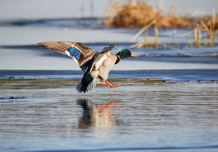 Duck landing into icy water in the spring. Animal Themes Animals In The Wild Beak Beauty In Nature Bird Duck Flight Flying Focus On Foreground Landing Mid-air Nature No People Ocean Sea Seagull Spread Wings Tranquil Scene Tranquility Water Water Bird Wildlife Zoology