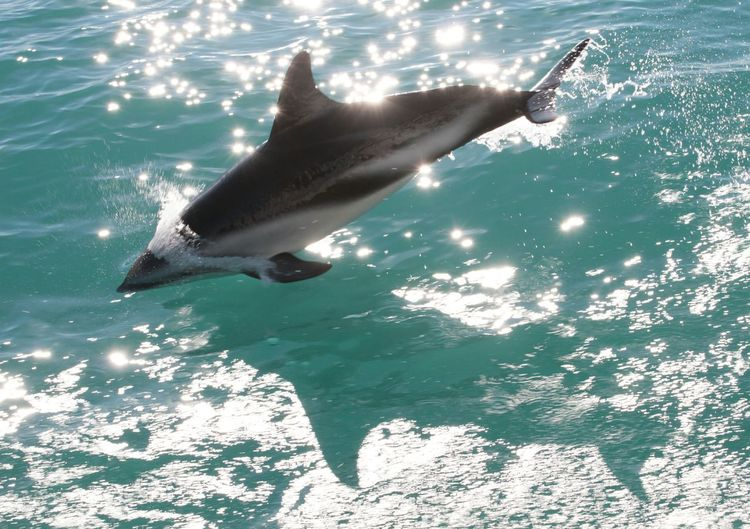 Dolphin taking leap in sea water