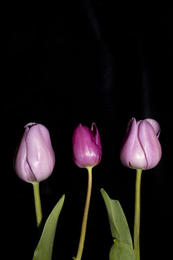 Close-up of pink tulips against black background