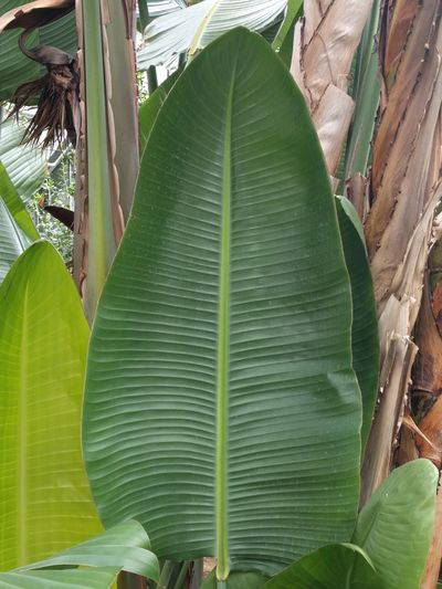 Unedited Unfiltered Greenhouse Plants Strilitzia Green Color Growth Big Leaves Giant Leaf Leaf Close-up Green Color Plant Leaf Vein Plant Life Natural Pattern Botany Growing EyeEmNewHere