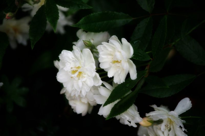 Flower White Color Close-up Flower Head Plant Leaf No People Beauty In Nature Freshness Nature On Your Doorstep White Rose Outdoors Whit Rose