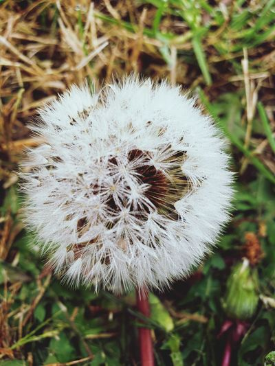 Fluff Allergy Allergy Season Flower Head Flower Uncultivated Close-up Plant Photosynthesis Beautiful Dandelion Relaxing Moments Pretty Scenery Attractive Daytime Dandelion Seed Plant Life Wildflower Delicate