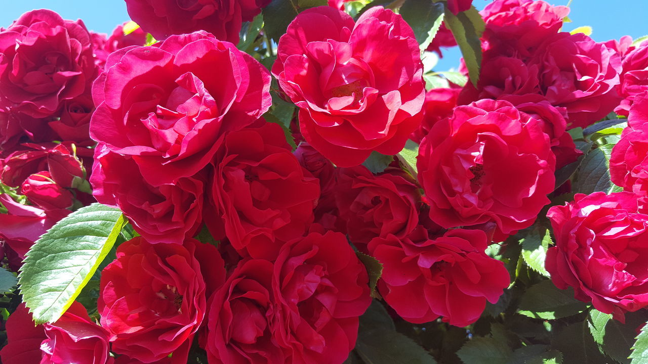 HIGH ANGLE VIEW OF ROSE BOUQUET ON RED ROSES