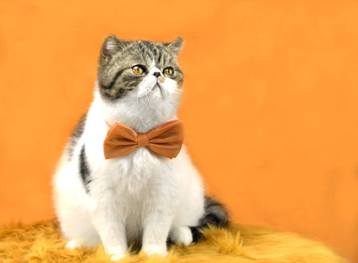 Close-up of cat wearing bow tie against orange background