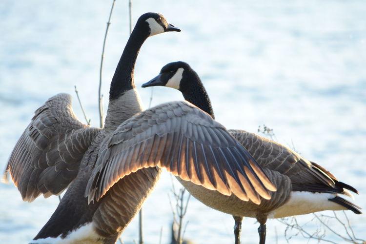 Canada geese against cloudy sky