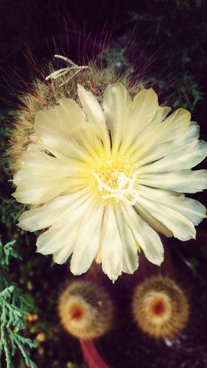 Soñar, soñar! Que la tarta me la como yo ;) Arenys De Mar Amarillo Nature_collection Flower Collection