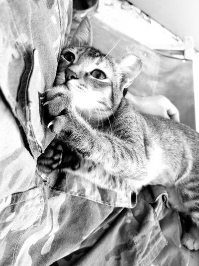 Cat Pets One Animal Feline Close-up Deployed Deployment Uniform Black And White Friday