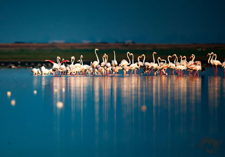 Flamingos in lake against clear sky