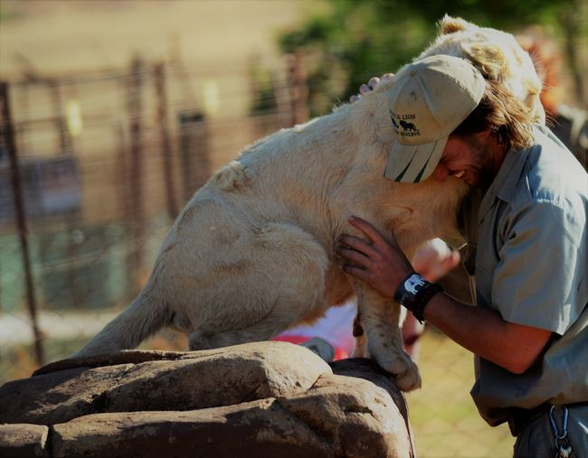 Loving bond between cub and handler Affectionate Animal And Human Love Animal Themes Friends Lion Cub One Animal One Person Passion For Animals Playing With Cub