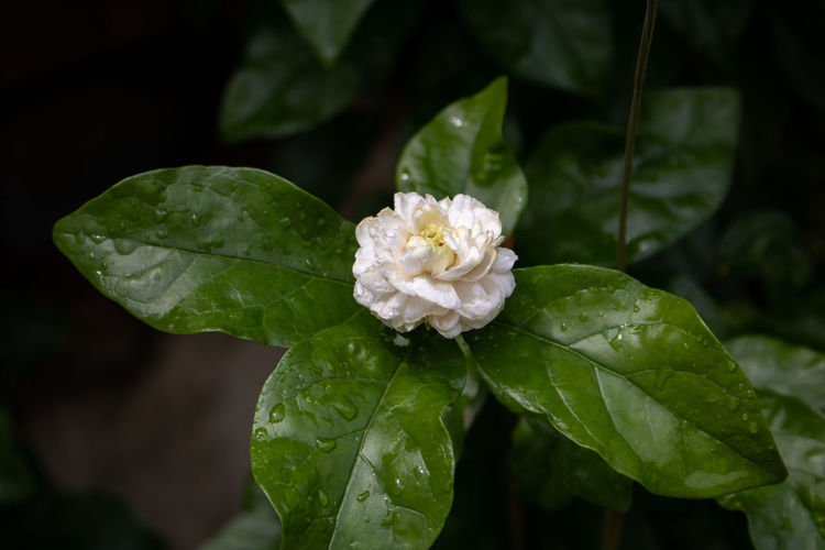 Close-up of wet white flowering plant
