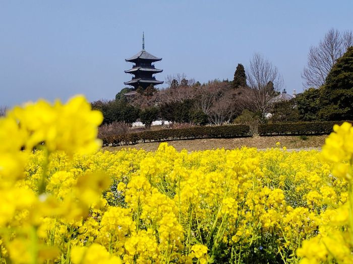 Soja Temple on a sea of sunlight EyeEmNewHere Flower Flower Head Rural Scene Oilseed Rape Yellow Agriculture Springtime Field Mustard Plant Crop