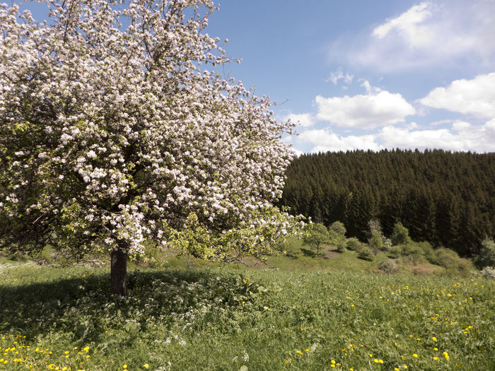 Albsteig Hiking Wanderlust Beauty In Nature Blossom Cherry Blossom Cherry Tree Cloud - Sky Dandelion Day Field Flowering Plant Fragility Growth Hiking Trail Nature No People Plant Schwäbische Alb Sky Springtime Tranquil Scene Tranquility Tree Vulnerability