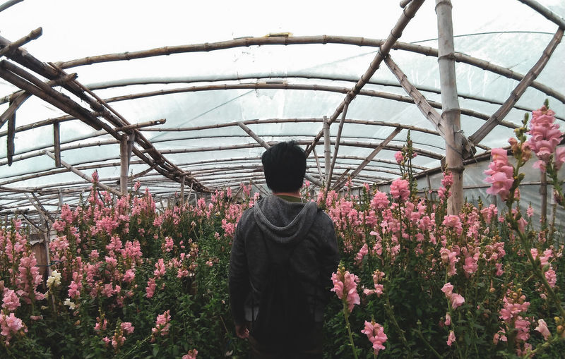 Rear view of man standing amidst pink flowers in greenhouse