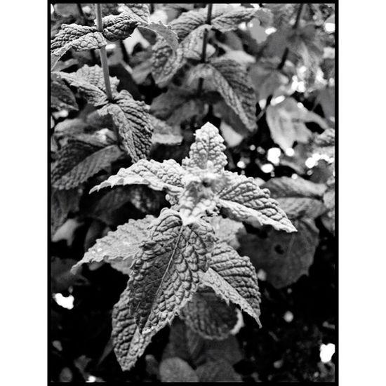 Mint Menthe Herbs EyeEm Nature Lover Nature Blackandwhite Campagne EyeEm Best Shots