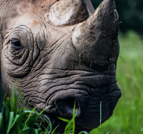 Close up of this magnificent rhino roaming around Port Lympne Nature Nature Photography Port Lympne Port Lympne Safari Park Rhinoceros Close Up Wildlife & Nature Wildlife Photography Animal Animal Wildlife Close-up Outdoors Rhino Rhino Close Up Rhinoceros Wildlife
