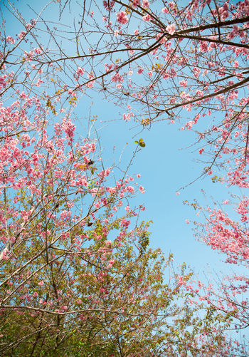 sakura series Beauty In Nature Branch Cheeryblossom Clear Sky Day Flower Fragility Freshness Growth Low Angle View Nature No People Outdoors Sakura Scenics Sky Springtime Tranquility Tree