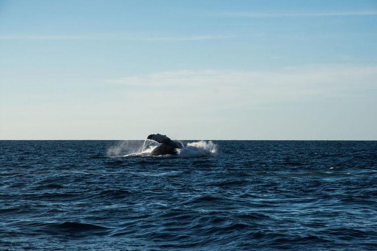Humpback whale cavorting near islas marietas near bucerias bay, punta mita, mexico
