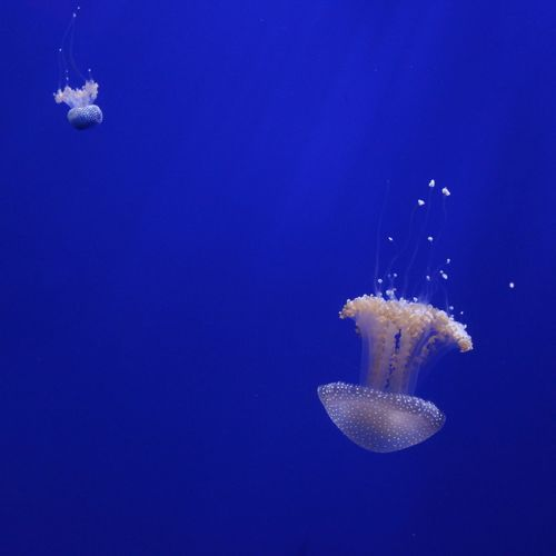 Jellyfish in an aquarium Animal Themes Aqua Aquarium Aquatic Atlanta Beauty In Nature Blue Exploration Jellyfish Majestic Nature No People Sea Swimming Tranquility UnderSea Underwater Vibrant Color Water Zoology