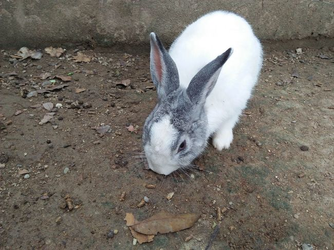 Rabbit one eating food Sand Animal Themes High Angle View Day Animals In The Wild One Animal Beach Nature No People Outdoors Close-up Mammal Cave Animal Eat Zoo Animals Pet Animal Wildlife Animal Eat Rabbit Wild Animal Pets Ground Rabbit Eye Lying Cute Rabbit ,bunny Nature
