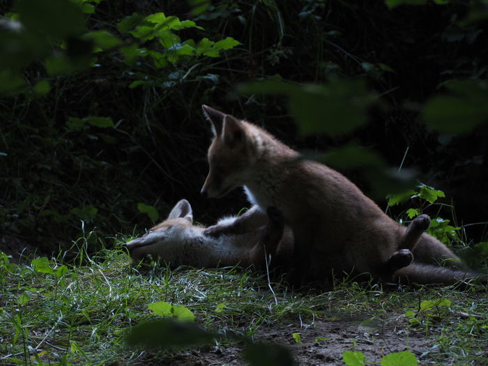 Fox cubs playing at dusk Animal Themes Animal Wildlife Animals In The Wild Cub Cubs  Fox Mammal Nature No People Outdoors Play Playful Togetherness Two Animals