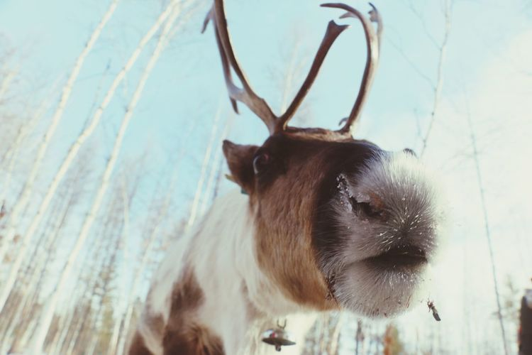 reindeer,so cute。 One Animal Animal Themes Mammal Animal Head  No People Domestic Animals Animals In The Wild Outdoors Day Close-up