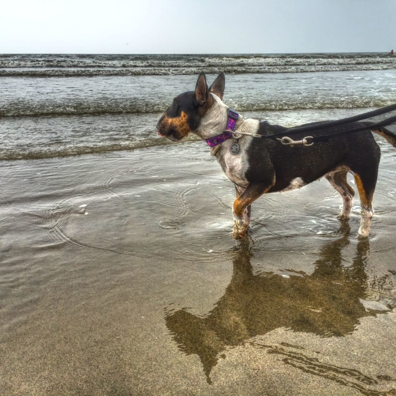 dog, sea, pets, domestic animals, beach, water, one animal, animal themes, horizon over water, sand, outdoors, mammal, sky, nature, standing, day, no people