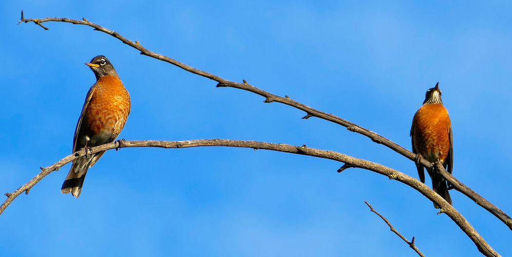 American Robin Animal Animal Themes Avian Beauty In Nature Bird Blue Branch Brown Clear Sky Close-up Day Focus On Foreground Growth Low Angle View Nature No People Outdoors Perched Perching Sky Tranquility Tree Twig Wildlife