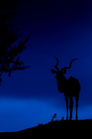 Tragelaphus Strepsiceros Koodoo Greater Kudu African Kudu Safari Park Safari Animals Safari Outdoors Horned Animals In The Wild Vertebrate No People Nature One Animal Animal Wildlife Standing Blue Silhouette Animal Themes Mammal Animal Sky Night Evening