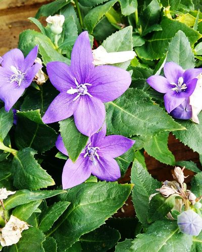 A Close-up of a Beautiful Purple Flower . Featuring Nature Day Outdoors Beauty In Nature Leaf No People Fragility Petal Plant Flower Head Green Color Growth Freshness Selective Focus Focus On Foreground Blossom Green Leaves Blooming Beauty In Nature Growth Stunning