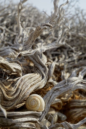 Dried wood and Snail Shell Aridity Branches Entangled Gnarled Macro Photography Snail Snail Shell Sunlight Arid Landscape Close-up Complexity Day Dead Dead Plant Dry Gnarled Tree Knotty Macro Nature No People Outdoors Shrub Small Sun Tree