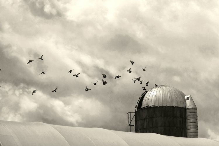 Low Angle View Of Pigeons Flying Over Silo