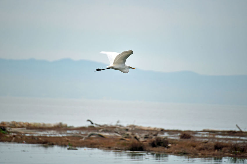 Snowy Egret In Flight 4 Hayward Regional Shoreline Park Tidal Wetlands Marsh Snowy Egret Egretta Thula Ardeidae Small White Heron Forager Wader Stalks Prey In Shallow Water & Mudflats Probes Mud By Paddling Its Feet Birds🐦⛅ Birds_collection Birdwatching Birds In Flight Bird_lovers Orinthology Nature Beauty In Nature Nature_collection Close-up Landscape_Collection Landscape_photography Flying Animal Wildlife Spread Wings Water