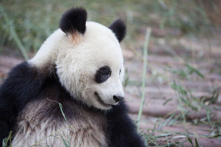 Giant panda looking away in zoo