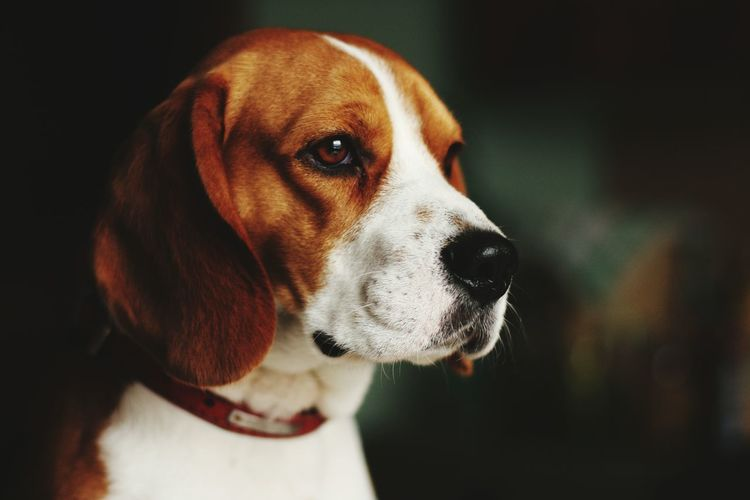 Close-up of beagle dog