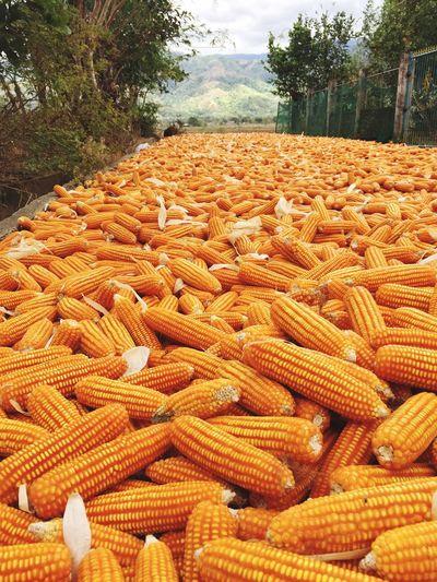 corn Mais Corn