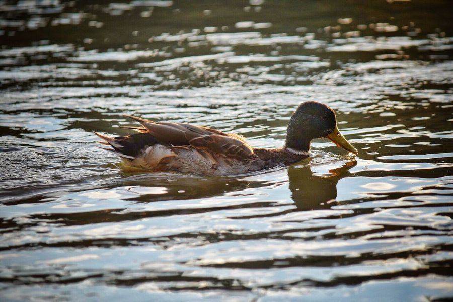 Animals In The Wild Bird Lake Animal Themes Water Nature Animal Wildlife Outdoors Day Swimming Water Bird No People Bird Photography Birds Of EyeEm  Birds_collection Beauty In Nature Feather  Swimming Duck Animals In The Wild Mallard Duck One Animal Willamette River  River Birds Of EyeEm