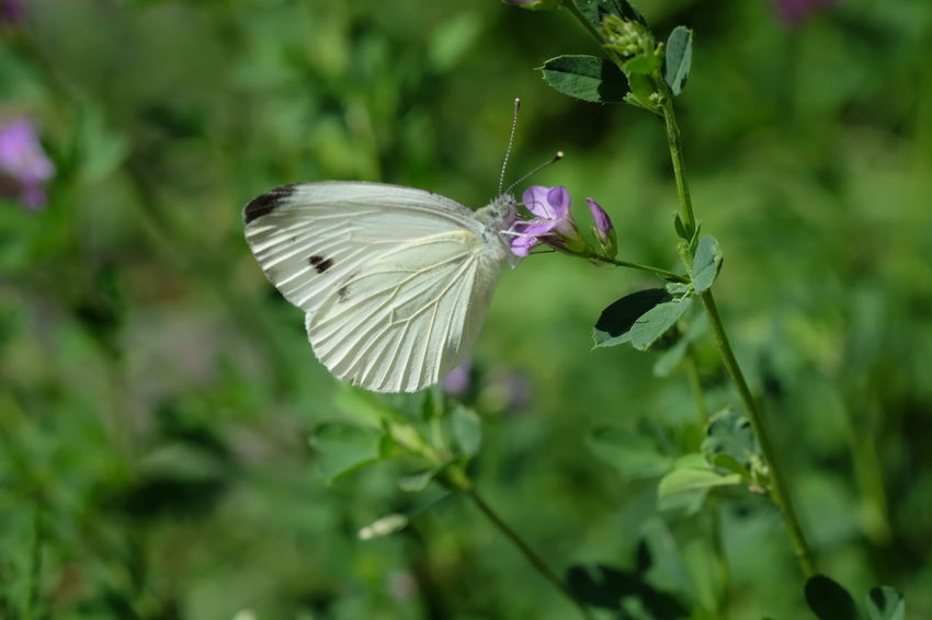 Spread Wings Flower Perching Flower Head Pollination Butterfly - Insect Insect Animal Wing Purple Close-up
