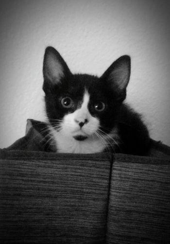 Pets Domestic Animals Domestic Cat One Animal Animal Looking At Camera Portrait Whisker Feline Black Color Alertness Meow Contrast Black And White Whiskers AdoptDontShop Kittylove Purr Purrfect Cat Cat Lovers