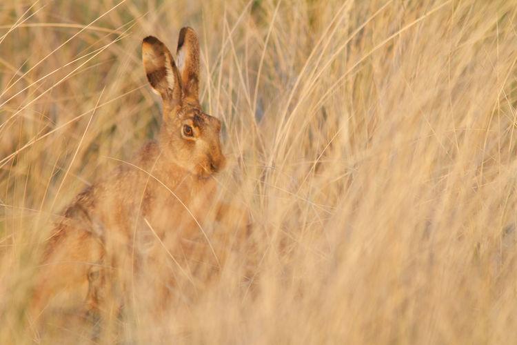 Rabbit Amidst Grass