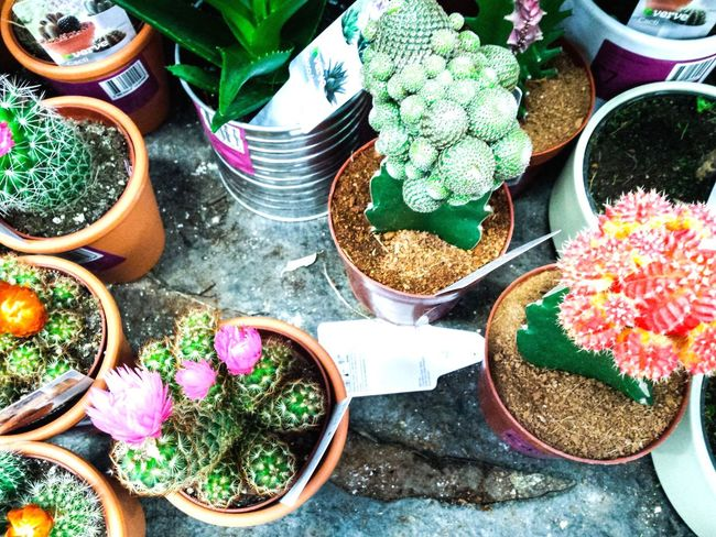 High Angle View Potted Plant Day Plant Variation No People Outdoors Growth Choice Freshness Nature Flower Close-up Leaves Plant Life Plants Garden Centre Cacti Cactus Flower Cactus Nature Freshness Growth Choice Plant